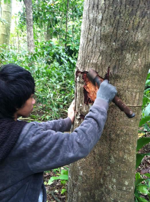 kukui bark for dye